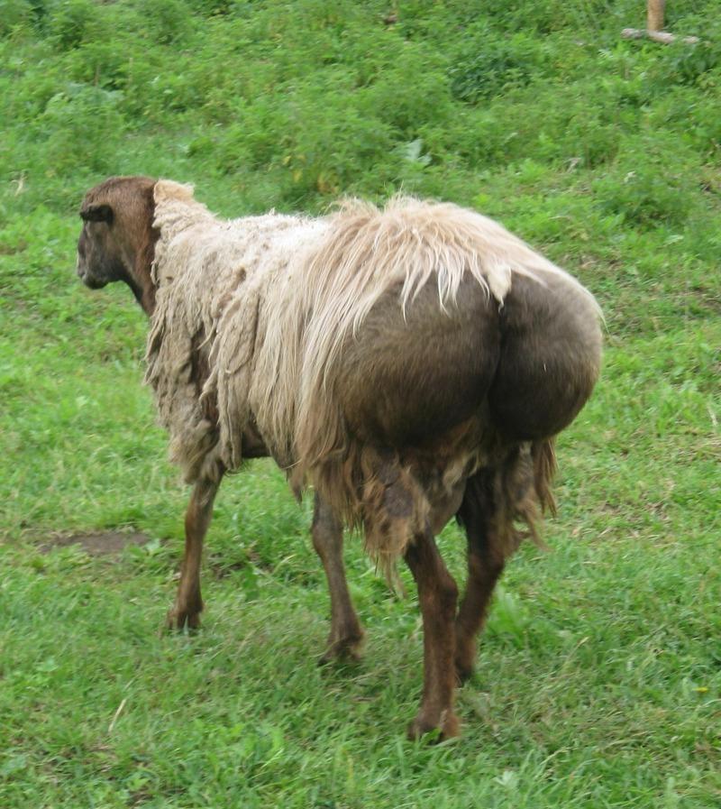 Курдючная овца