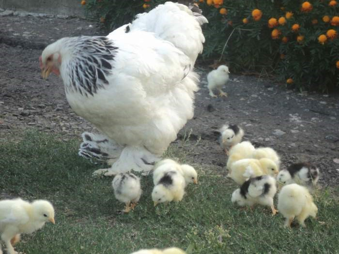 Цыплята с наседкой