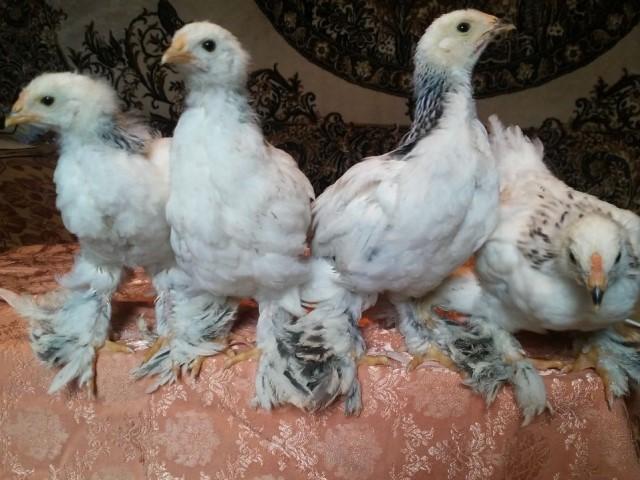 Цыплята брама