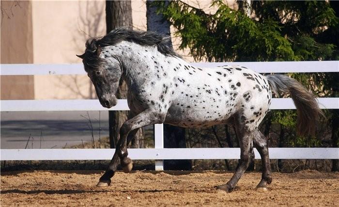 Алтайская лошадь