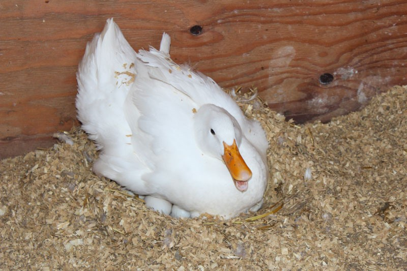 Гусыня сидит на яйцах
