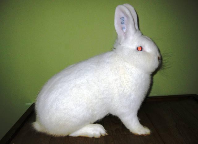 Кролик производитель