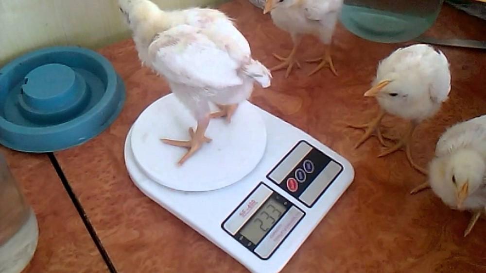Взвешивание цыплят