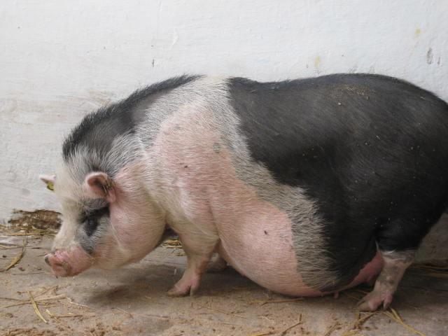 Свинья перед опоросом