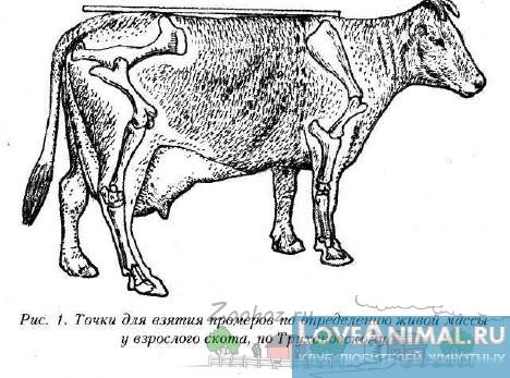 Правильное проведение промеров на животном для метода Клювера-Штрауха
