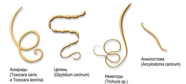 Глисты, паразитирующие в организме кур