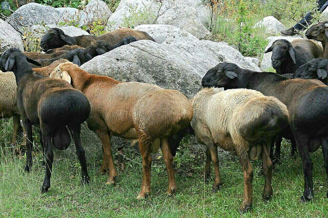 Таджикские овцы
