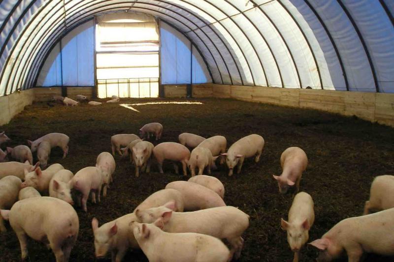 Содержание свиней без разделения помещения на стойла