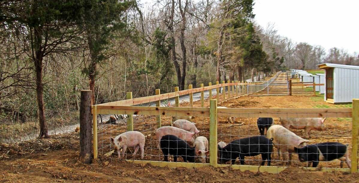 Свободный доступ свиней на выгульное пространство