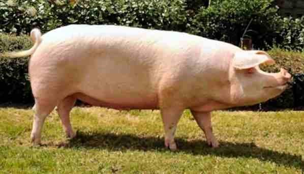 Как узнать, сколько весит свинья?