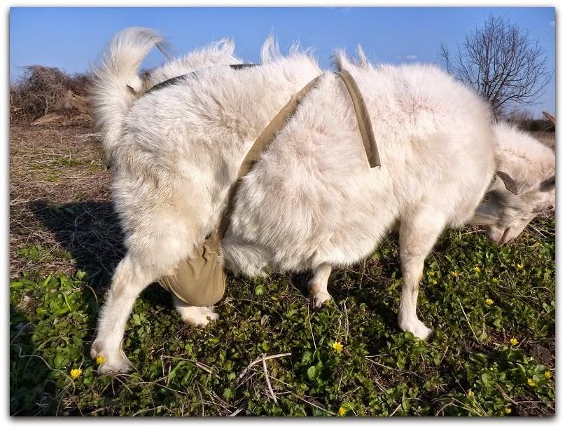 Коза линяет
