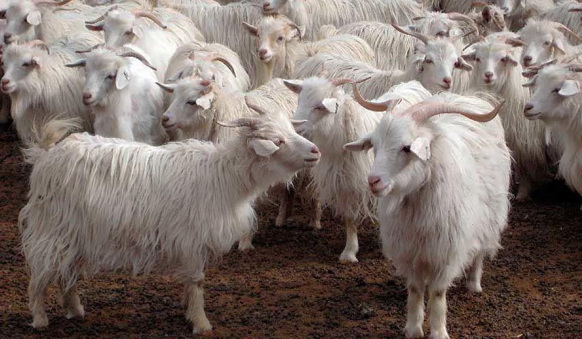 У этих коз все в порядке с шерстью