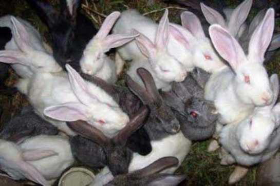 Крольчата пригодные к отъему