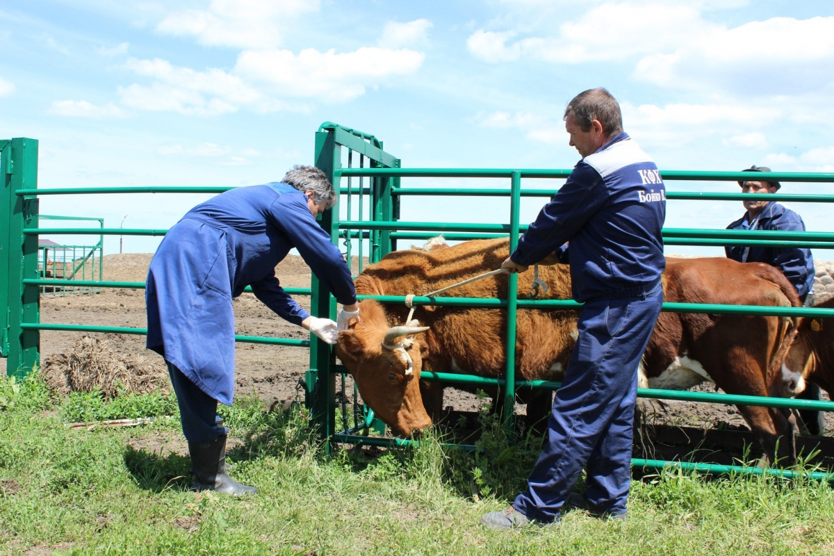 Обработка коров от эктопаразитов