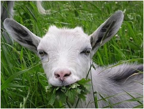 Коза кушает сочную траву
