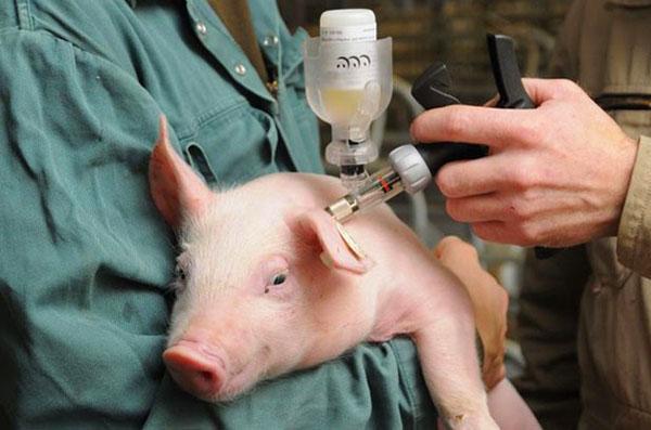 Вакцины вводят в/м за ушком