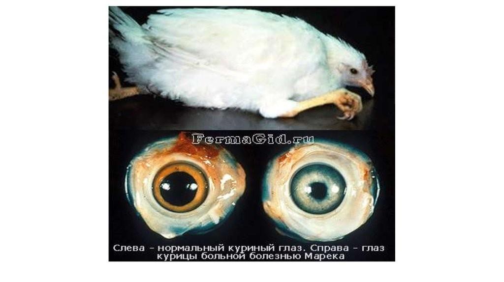 Слева глаз здоровой курицы. Справа — болезнь Марека