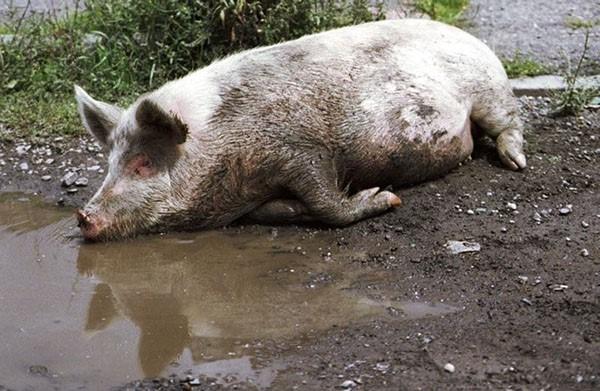 Условия, благоприятствующие возникновению рожи свиней