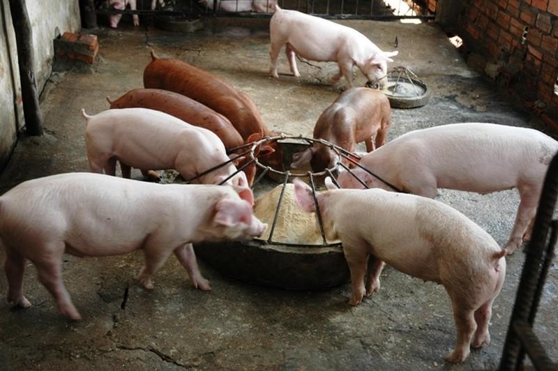 И в домашних условиях можно обеспечить комфортное содержание свиней