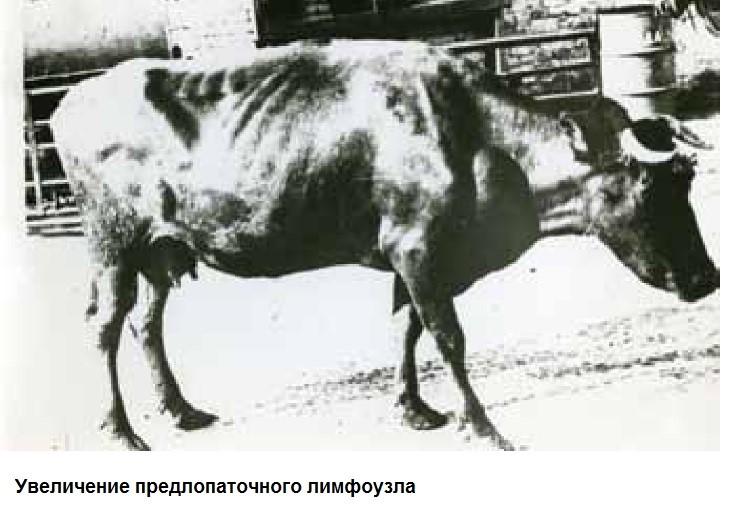 Корова истощена. Подлопаточный лимфоузел увеличен