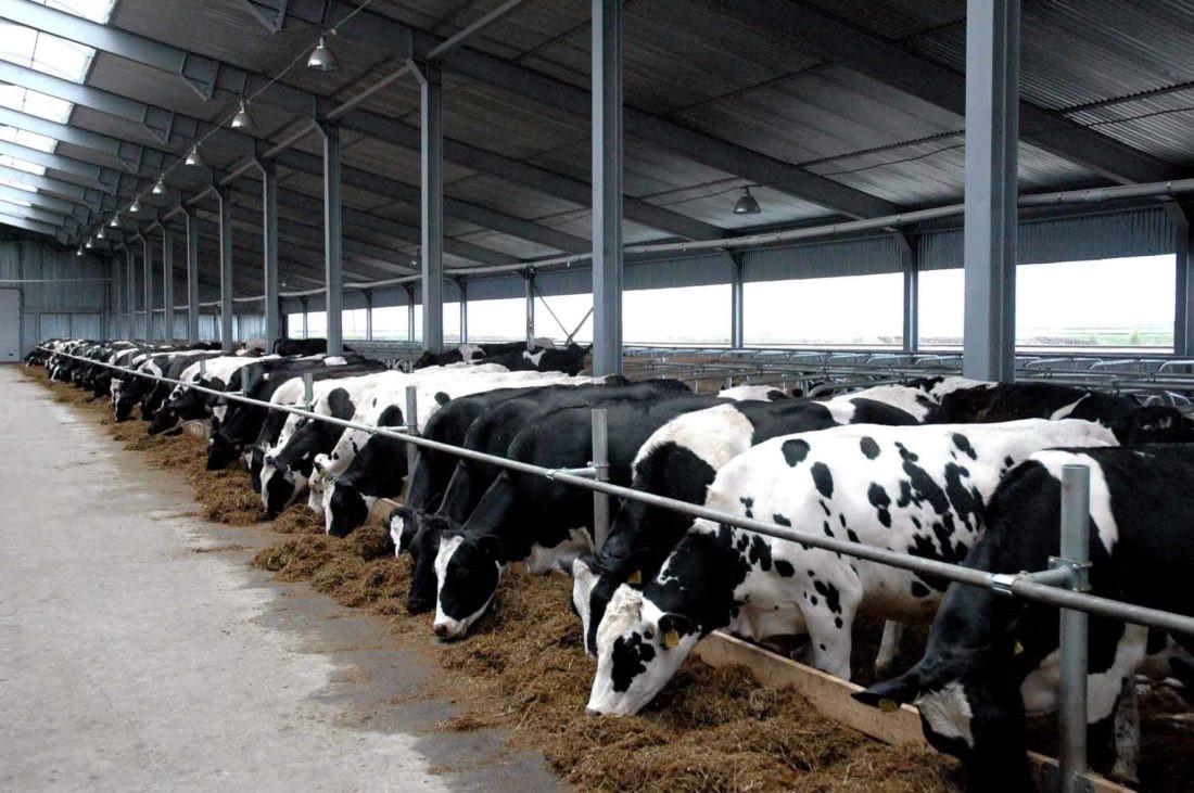 Для породистого скота необходимо организовать надлежащее кормление и содержание