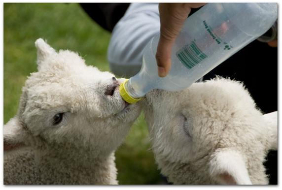 Кормление ягнят коровьим молоком