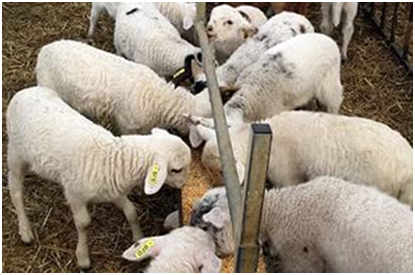 Кормушка для овец