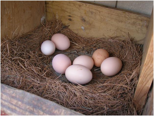 Снесенные яйца в гнезде
