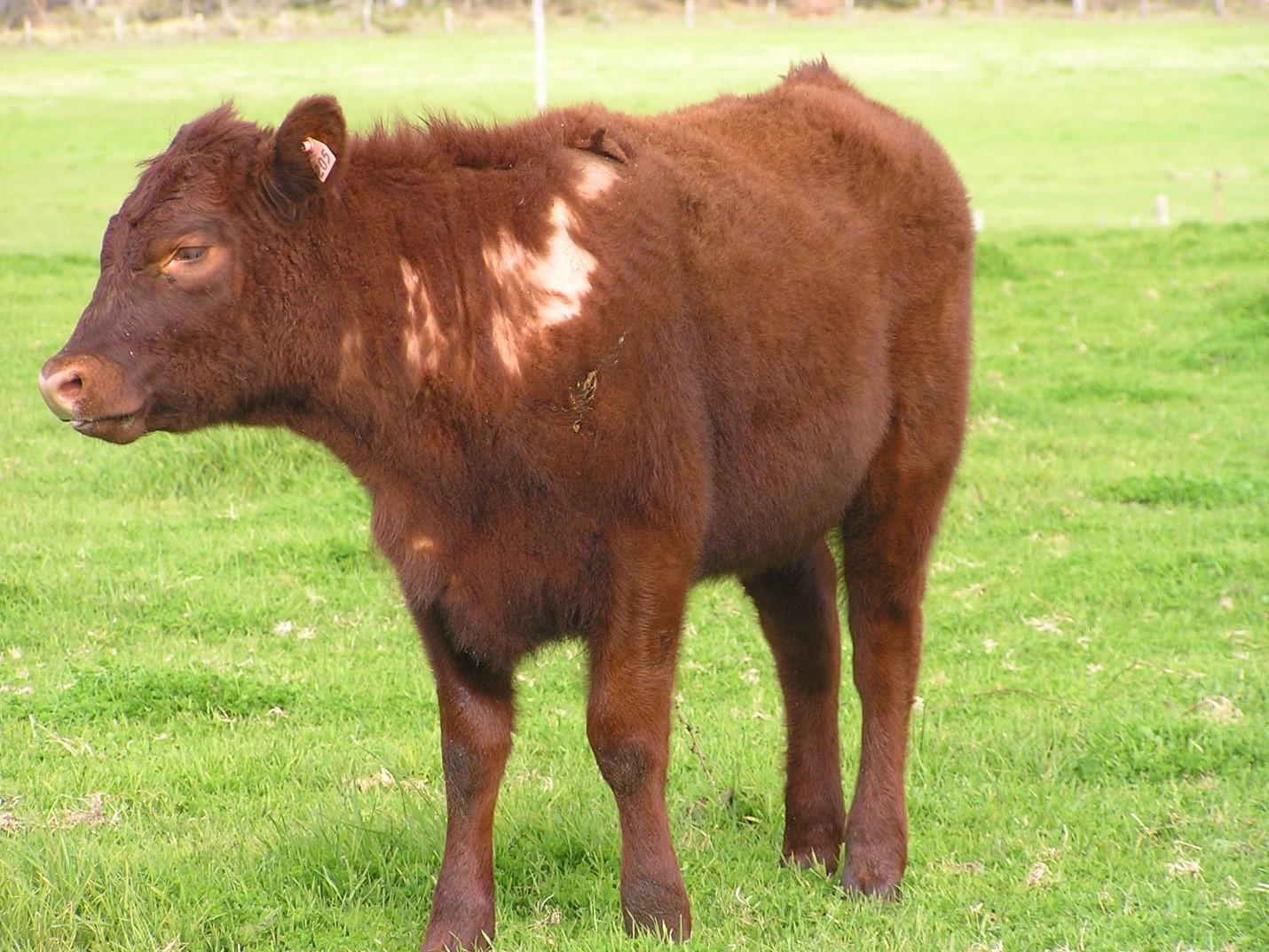 Больная трихофитией корова