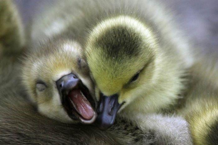 При энтерите гусята жмутся друг к другу