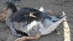 При колибактериозе гусята угнетены