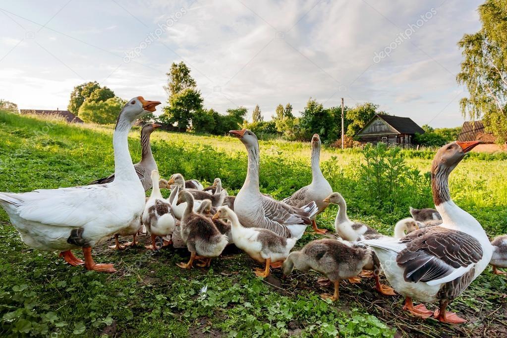 Совместное содержание разновозрастных гусей способствует распространению инфекции