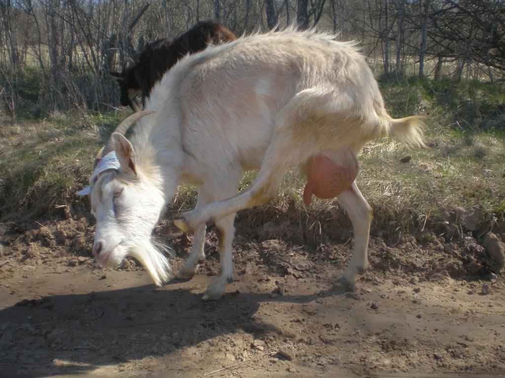 Коза чешется