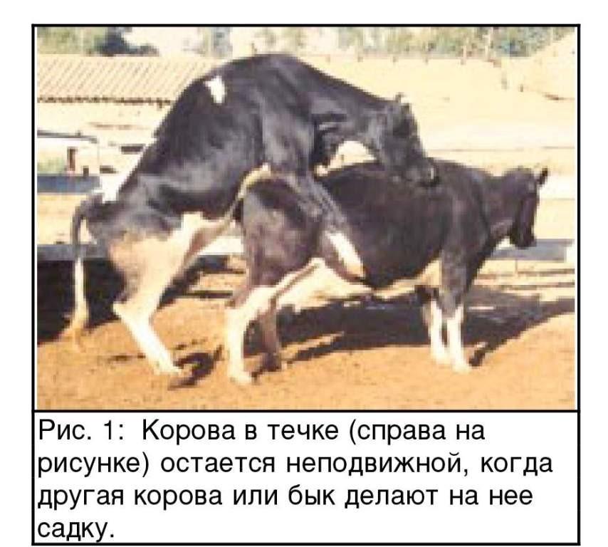 Оплодотворение коровы