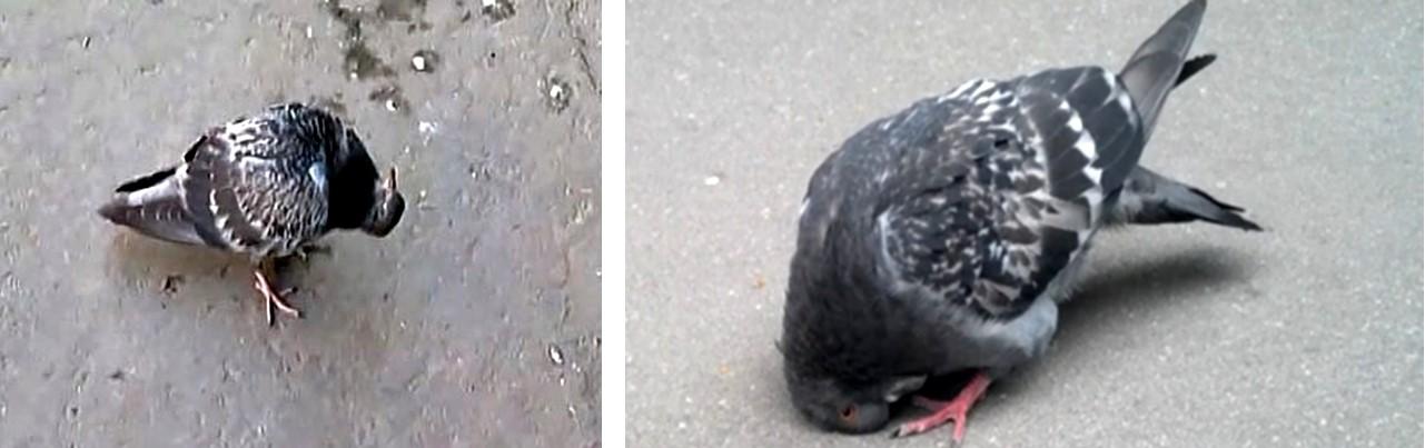 Больные голуби переносят болезнь Ньюкасла
