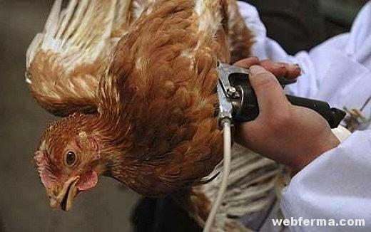Вакцинация птицы