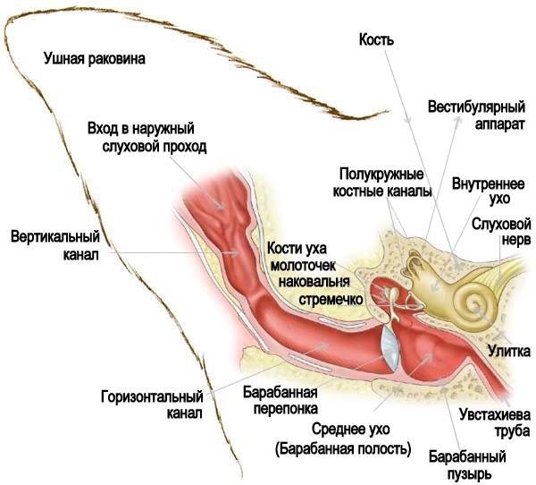 Строение уха животного