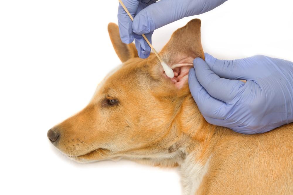 Чистка ушей собаки