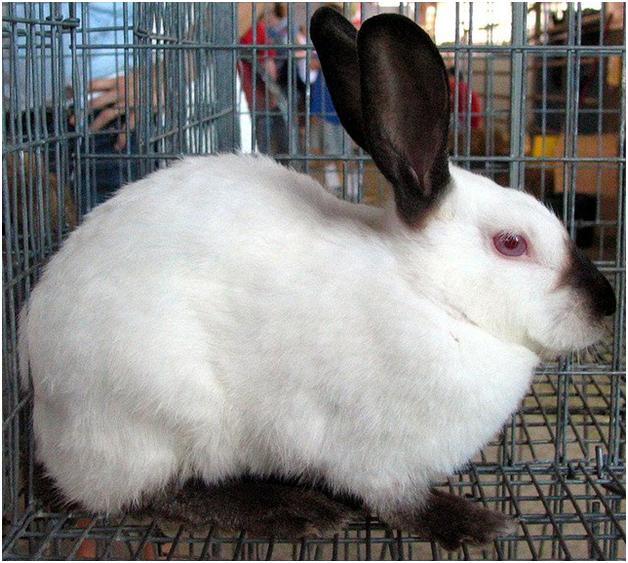 Пуховая порода кроликов