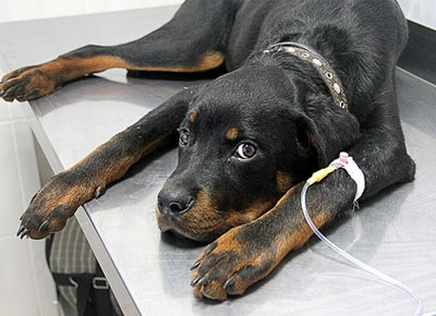 Внутривенное введение лекарства собаке