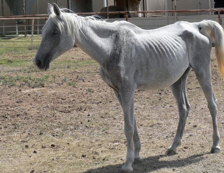 У лошади оксиуроз
