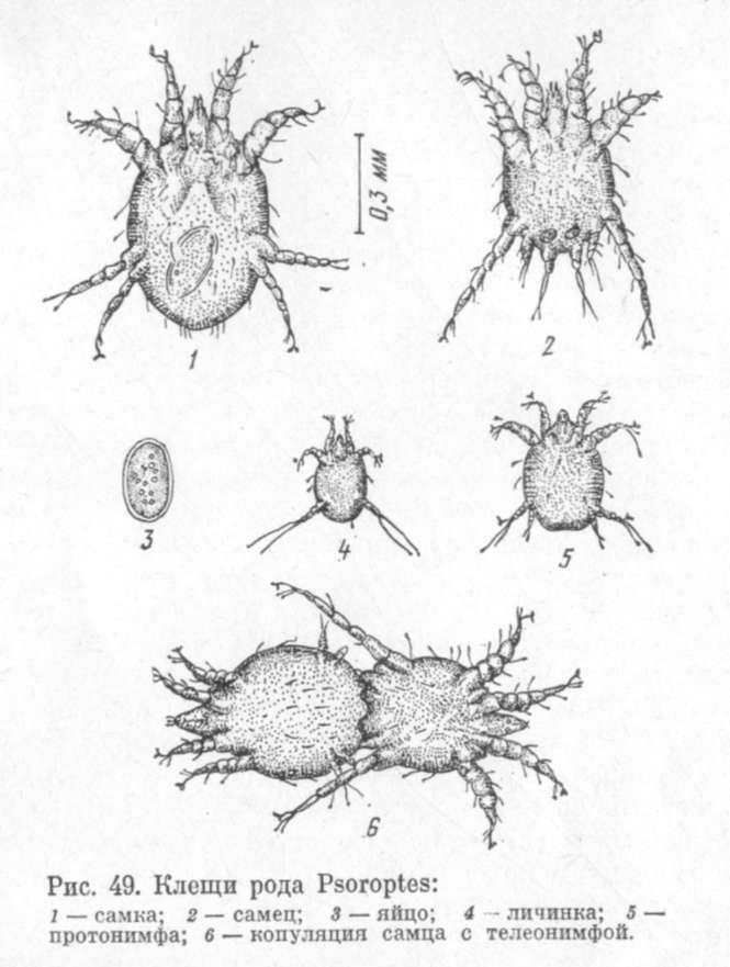 Клещи рода Psoroptes