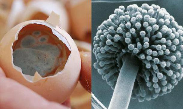 Яйцо поражено колониями аспергиллюса