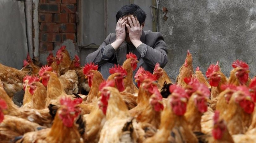 Птичий грипп небезопасен для человека