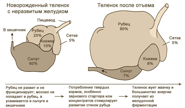 Схема желудка теленка