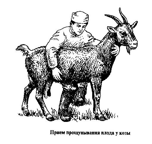 Пальпация животного
