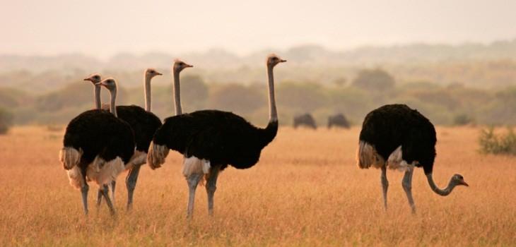 Африканские черные страусы