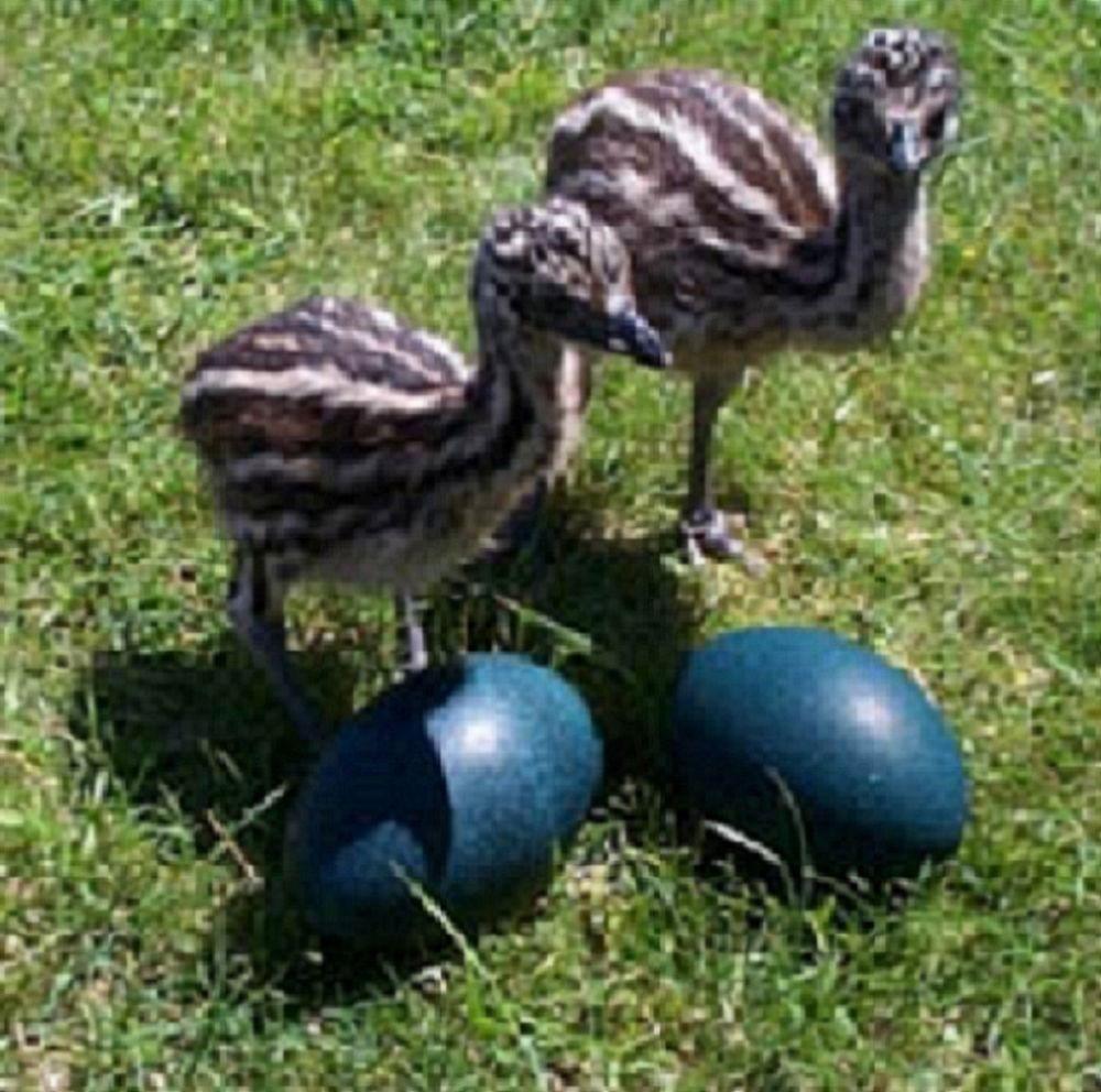Птенцы эму и яичная продукция