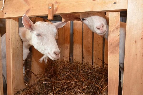 Сено — главная диета козы