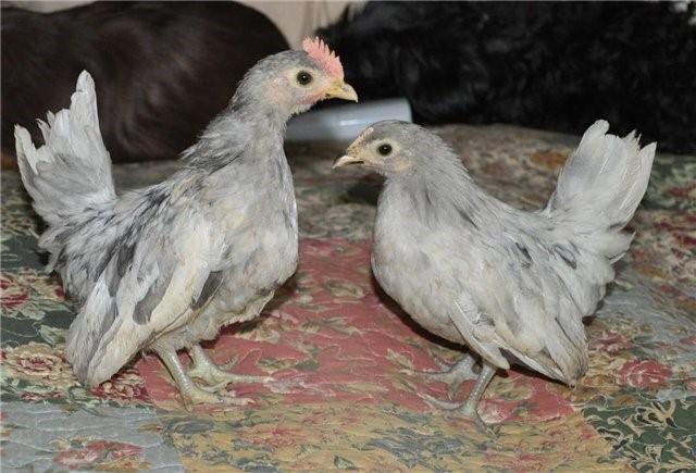 Цыплята шабо
